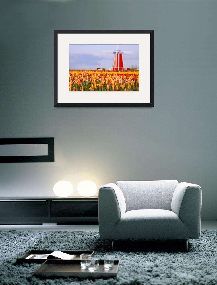 """A Field Of Tulips And A Windmill At Wooden Shoe Tu&quot  by DesignPics"
