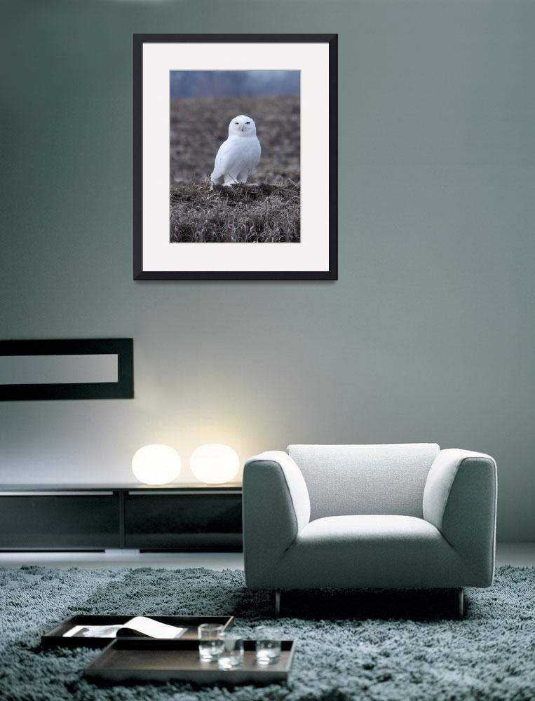"""Snowy Owl&quot  (2012) by cameragal"