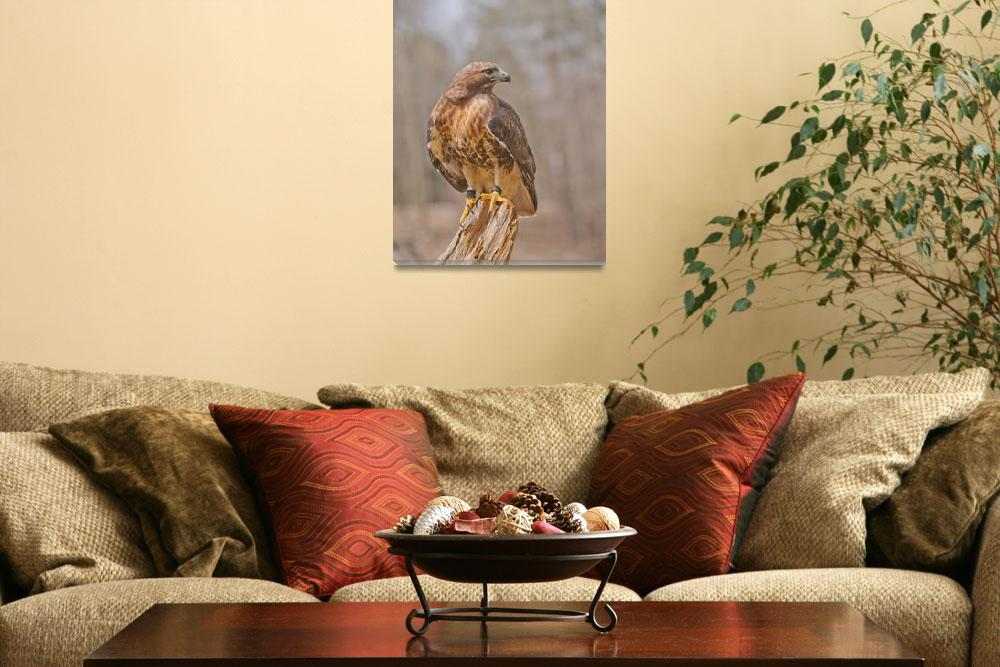 """Red-tailed hawk against diffused woods&quot  (2011) by tonymoran"