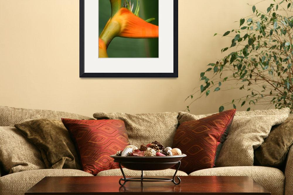 """Heliconia latispatha&quot  (2011) by sharonmau"