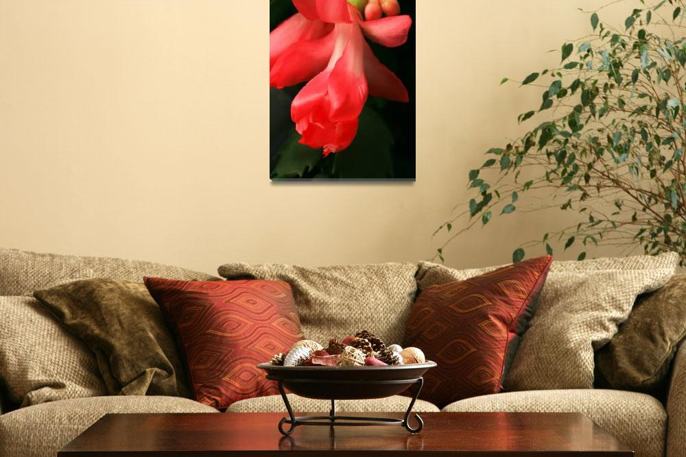 """Blooming Christmas Cactus&quot  (2012) by newimage"