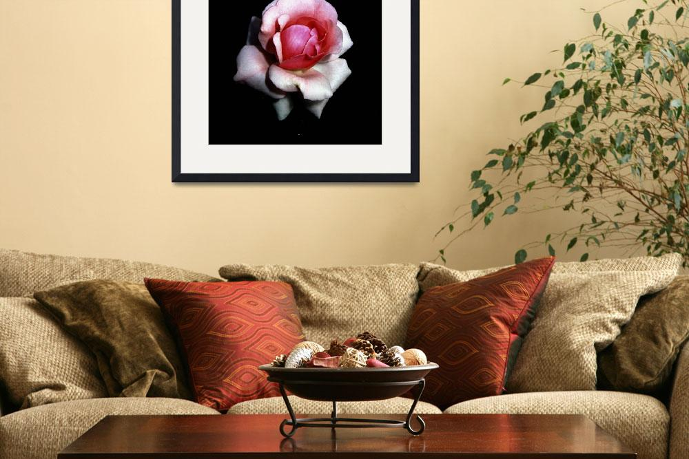 """Pink Rose&quot  (2008) by bavosiphotoart"