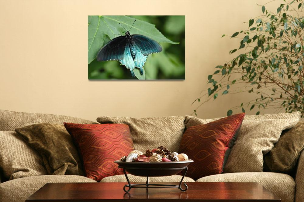 """Pipevine Swallowtail&quot  (2011) by julieandel"