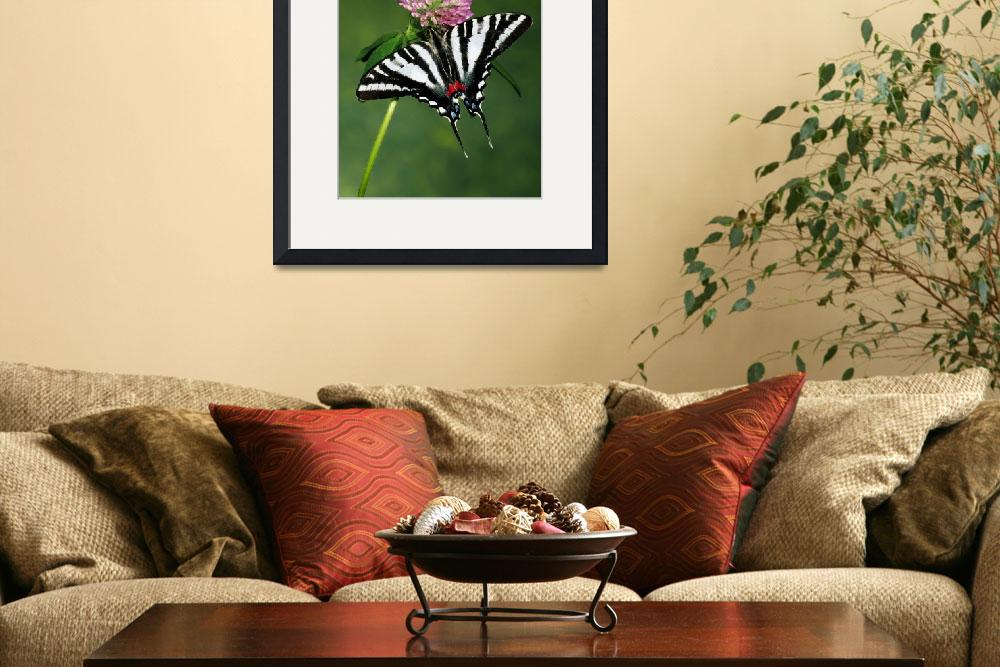 """Zebra swallowtail butterfly on clover flower blos&quot  by Panoramic_Images"