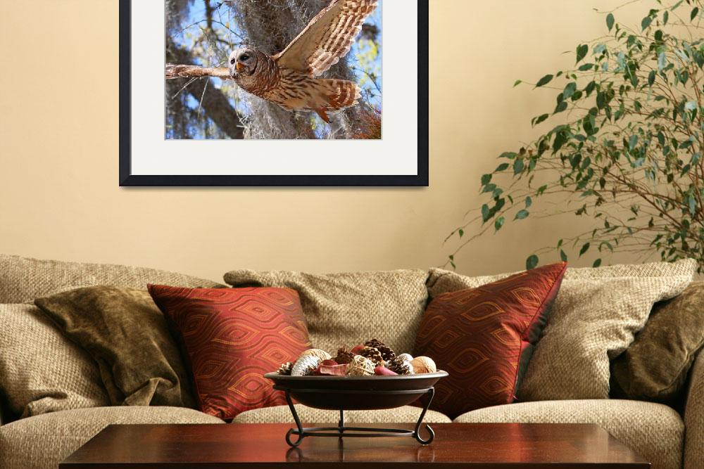 """Barred Owl In Flight&quot  (2010) by heathergreen"