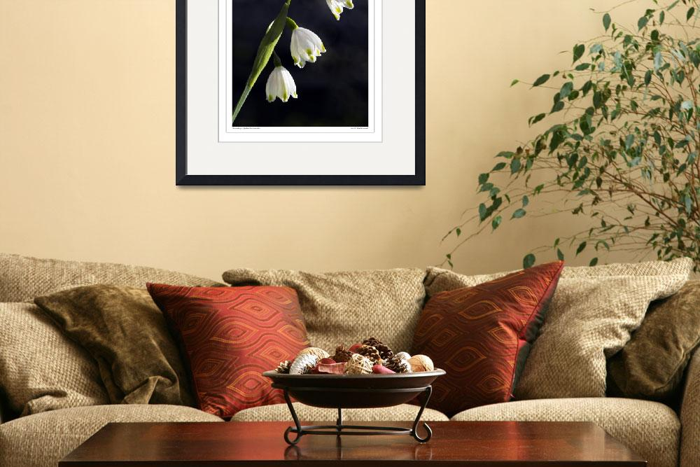 """Snowdrops, (Galanthus nivalis)&quot  by SussexImages"