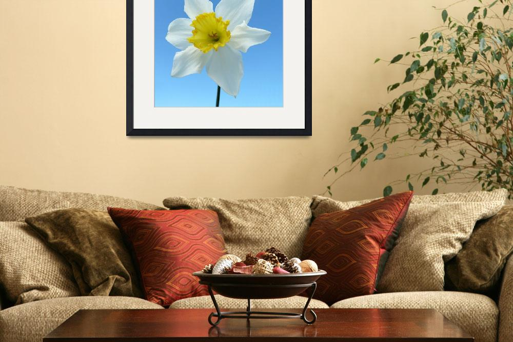 """White Narcissus Daffodil&quot  (2012) by JMcCoubreyPhotography"