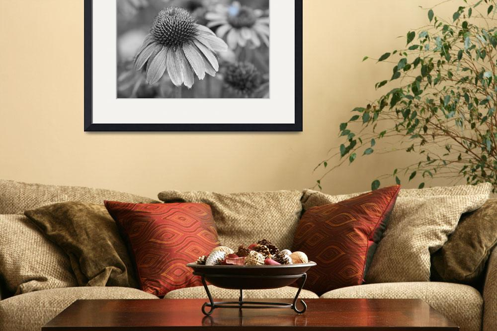 """Echinacea  Coneflowers BW&quot  (2012) by lightningman"