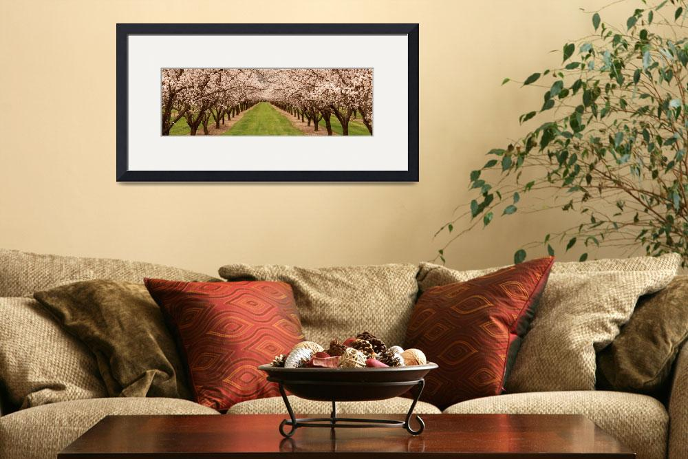 """Almond Tree Orchard CA&quot  by Panoramic_Images"