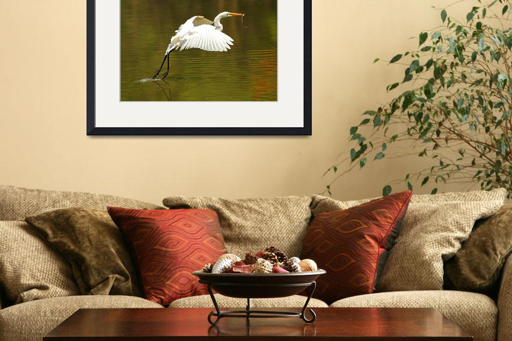 """Great Egret with Fish&quot  (2012) by shelshots"