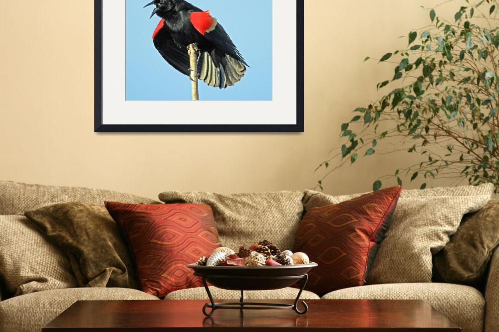 """Red-winged Blackbird ((Agelaius phoeniceus)&quot  (2011) by shelshots"