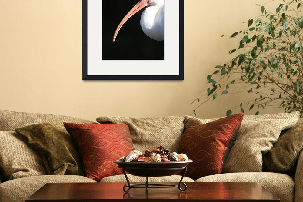 """American White Ibis Profile&quot  (2010) by Groecar"