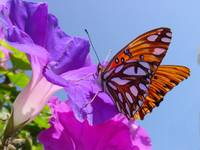Beautiful Butterfly on Beautiful Morning Glory