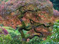 Dancing Tree ~ Japanese Maple