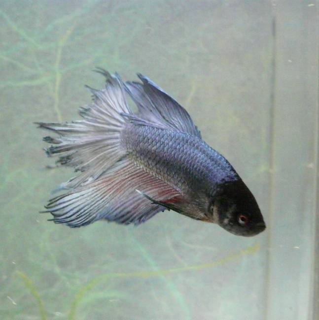 little blue betta fish by cindy ford