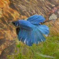 Blue and White Betta with stone & moss background Art Prints & Posters by Cindy Ford