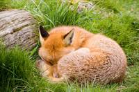 The Sleeping Fox