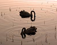 Black Swans Feeding at Dusk