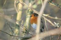 Robin in a tree