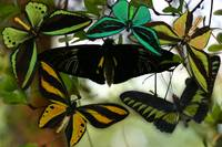 Birdwing Butterflies