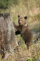 Grizzley Bear Cub