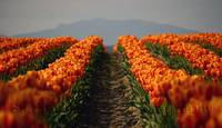 Skagit County Tulips of Washington State: Orange C