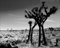The Tree and The Mojave