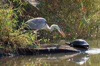 Grey heron and terrapin at Lake Panic