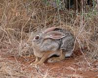 African Hare