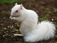 Albino squirrel II