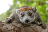 Red crowned lemur