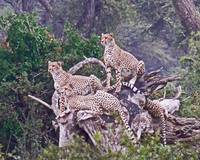 Cheetahs on Log