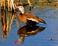Blackbelly Whistling Ducks #4