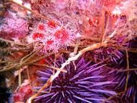 Urchin and Corynactis