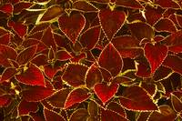 Glowing Red Leaves