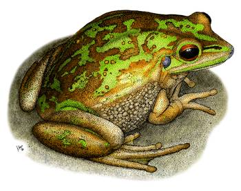 Green and Golden Bell Frog by artist Roger Hall. Giclee prints, art prints, animal art, frog art, Litoria aurea; from an original pen and ink drawing