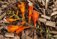 Orange Flower on Woodchip