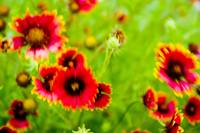 windy Indian Blanket