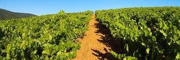 Provence vineyard panoramic landscape