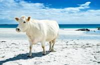 a cow.  on the beach.  in ireland.