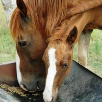 Mare and colt at feeding time