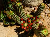 Red Flowering Cactus Coctail