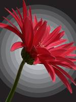 Abstract Gerbera