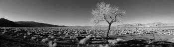 Tree in winter, Pyramid Lake