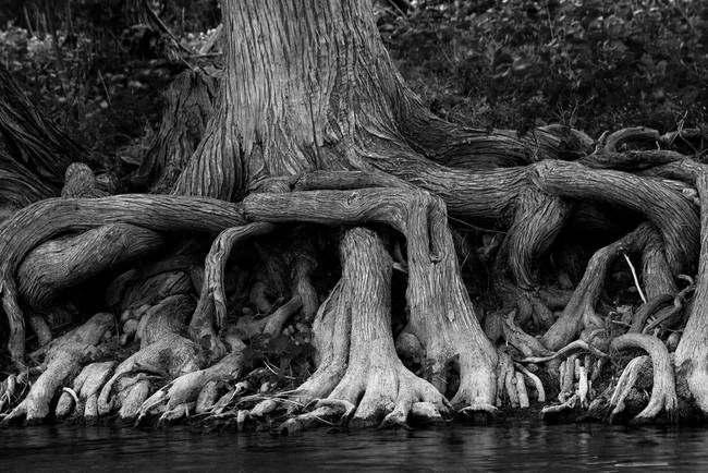Cypress Roots on the Frio River