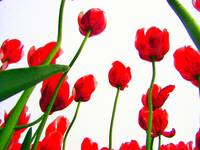 Red Tulips from the Bottom Up III