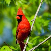 """""""Cardinal Red"""" by tricia"""