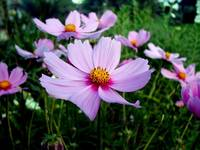 purple cosmos