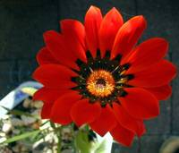 red flower on terrace