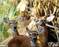 The Whitetail Family